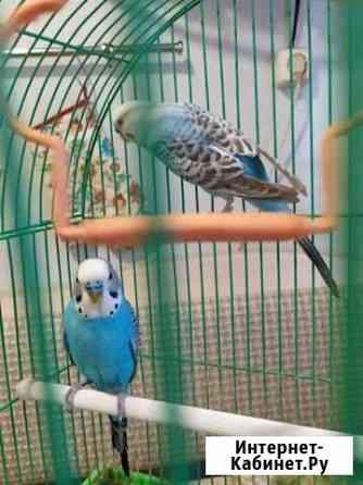 Попугай Псков