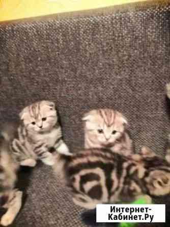 Продам котят от шотландской вислоухой Кинешма