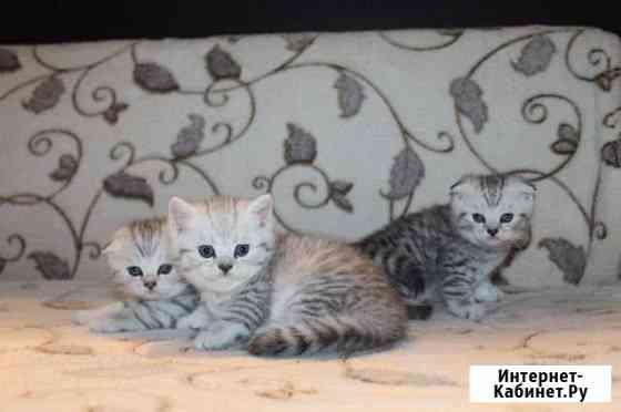 Шотландские котята Иваново
