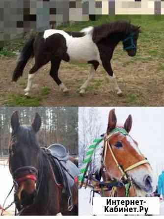 Жеребчик пони и две лошади Кострома