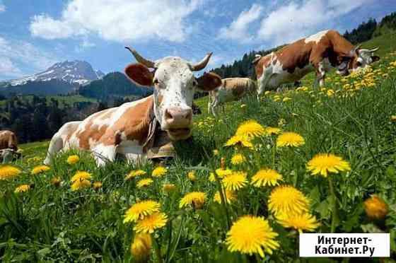 Коровы дойные разный возраст быки телки Горно-Алтайск
