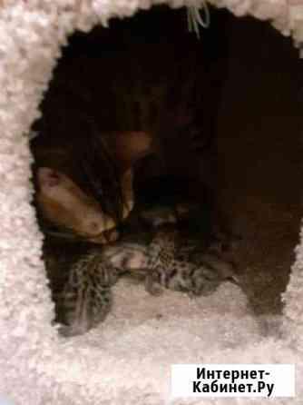 Шикарные бенгальские котята Опочка