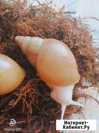 Улитки Ахатина фулика родаци альбино боди Улан-Удэ