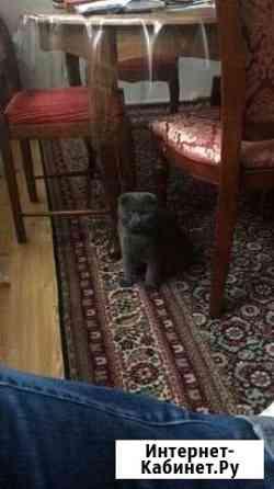 Вислоухий кот Грозный
