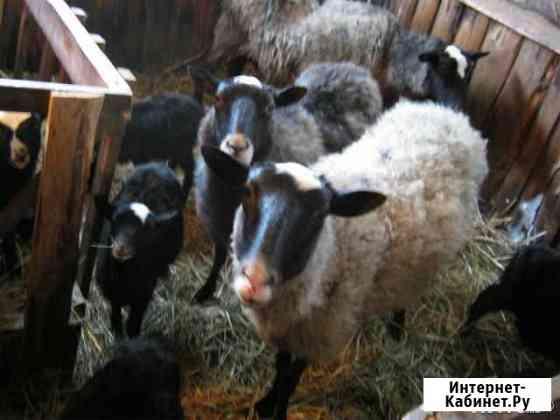 Продам овец романовской породы Кемля