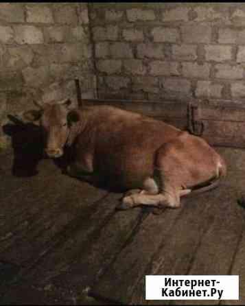 Коровы Наурская