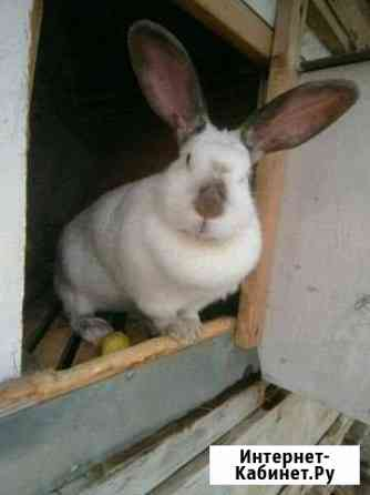 Калифорнийские кролики Белгород