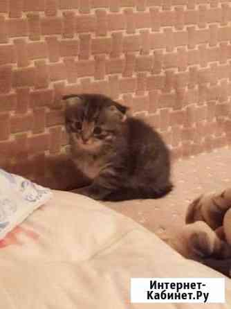 Шотландские вислоухие котята Омск