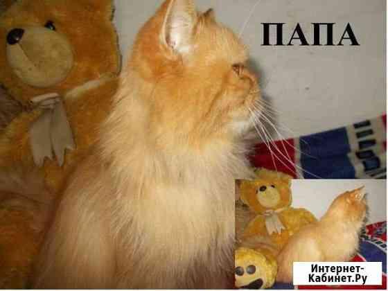 Персидские котята кот кошка перс Улан-Удэ