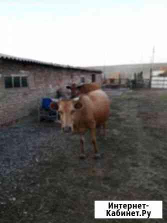 Корова Грозный