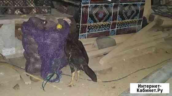 Цыплята Дербент