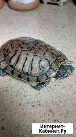Черепаха Рассказово
