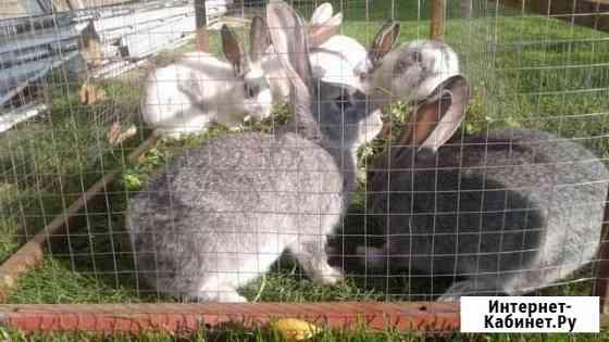 Кролики мясных пород Йошкар-Ола