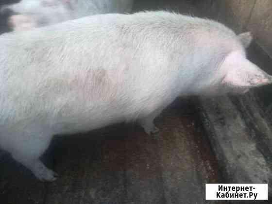Свинья Свободный