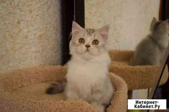 Шотландские котята Пенза