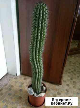 Кактусы, компазиции из кактусов Волчанец
