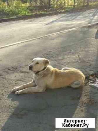 Собака лабрадор ищет дом Петрозаводск