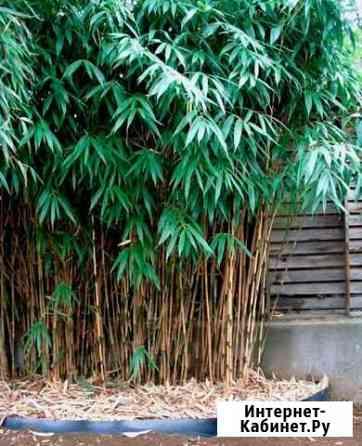Универсальные бамбуки Форгезия рабуста и Саза япон Севастополь