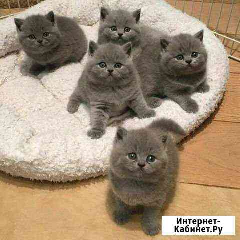 Шотландские котятки Тольятти