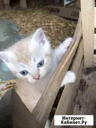 Голубоглазый котёнок Звенигово