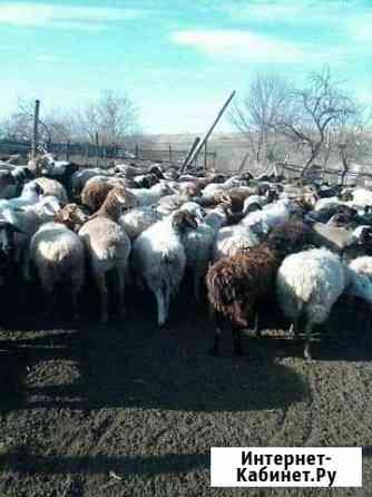 Овцы Саратов