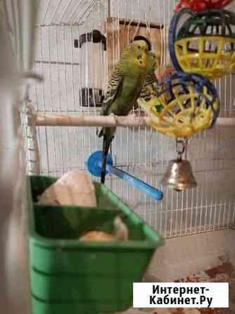 Попугаи волнистые Псков