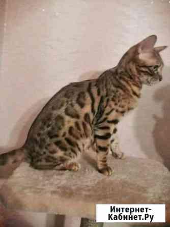Бенгальские котята Челябинск