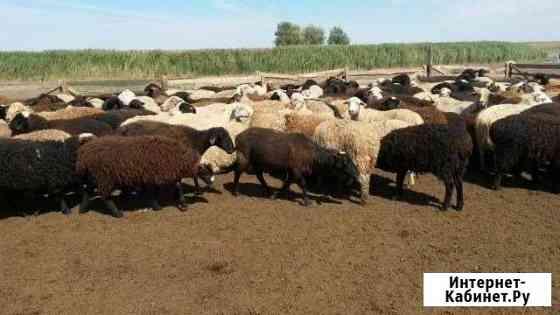 Овцы, бараны, поросята, гуси Наровчат