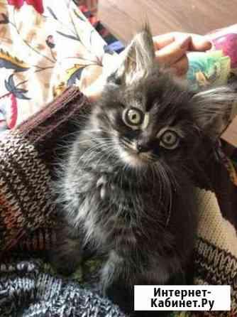 Сибирский котёнок Махачкала