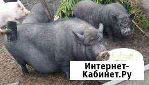 Поросята есть всегда Иваново