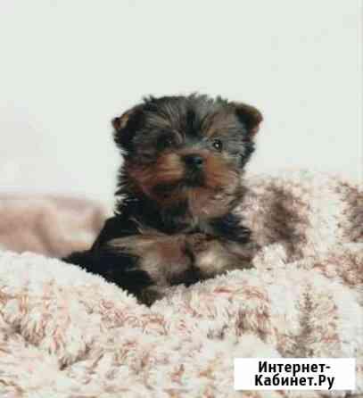 Продам щенка йоркширский терьер Петропавловск-Камчатский