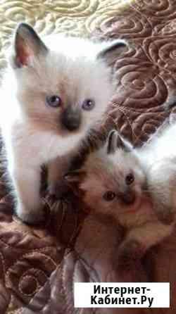 Сиамские котята в добрые руки Братск