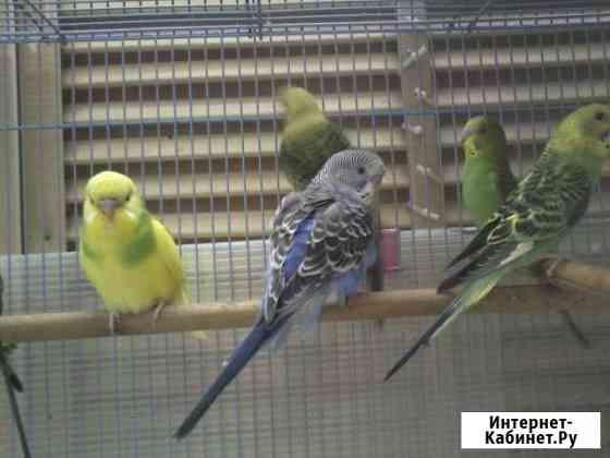 Волнистые попугайчики Улан-Удэ