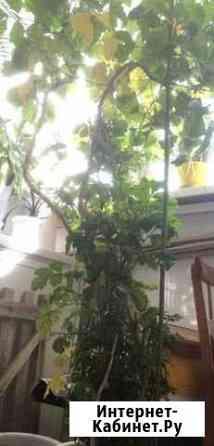 Растение Тольятти