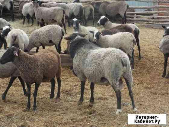 Овцы романовские чистопордные Азово