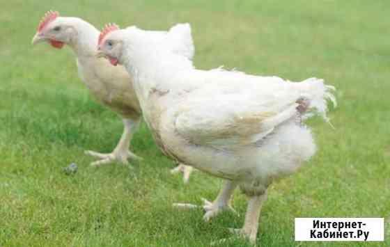 Цыпленок Евпатория