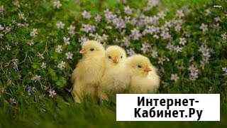 Суточный молодняк птицы Усть-Джегута
