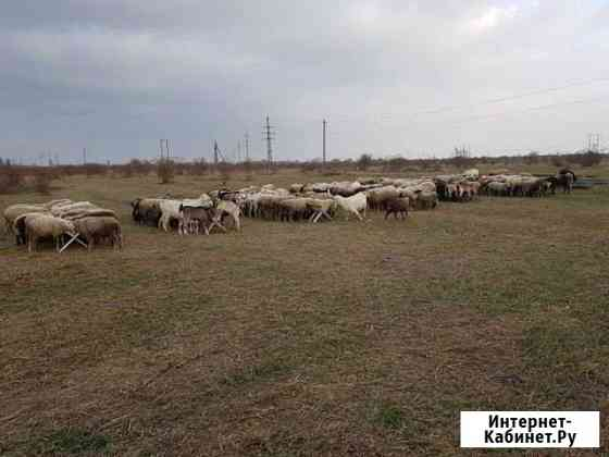 Овцы Чегем