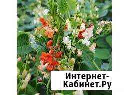 Фасоль семена Майма