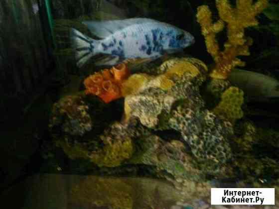 Рыбки, мальки : джексон (мультиколор ) Саратов