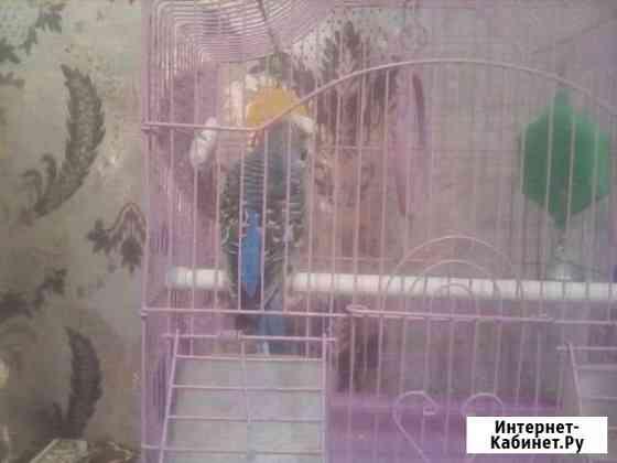 Волнистый попугай Яя