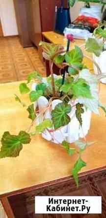 Цветы Бегония Магадан