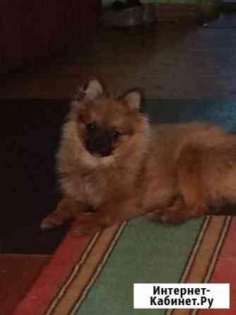 Продам собаку породы малый немецкий шпиц Иваново