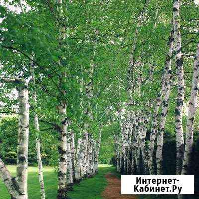 Береза белая, дуб, ель, клен и др. саженцы деревье Хабаровск