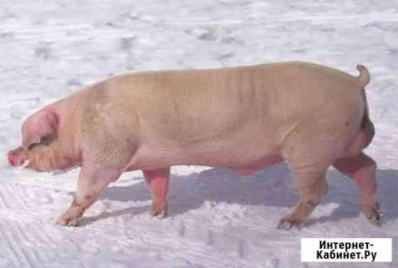 Свинина Рязань