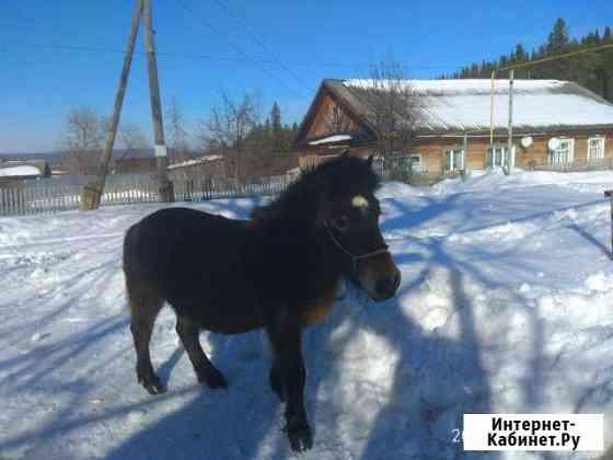 Шедленская пони кобыла Казань