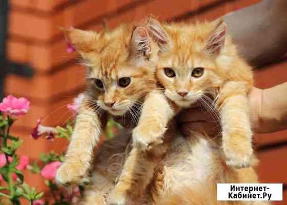Красные мраморные кошечки и кот Екатеринбург