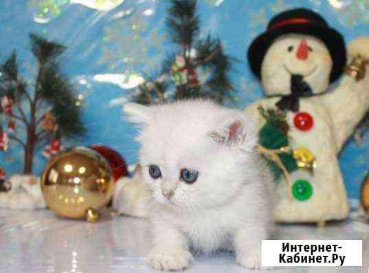 Британские котята голубоглазые- новогодний подарок Москва