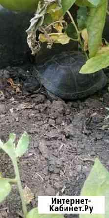 Черепаха Буинск