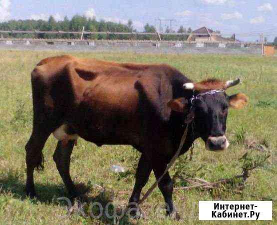 Корова Тальменка